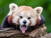 Get-Over-the-Hump Day: Prank Backfires, [Red] Panda Scare, What Would Penis