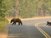 Young Bear Killed California Have Been Mutilated Body Parts News Guardian