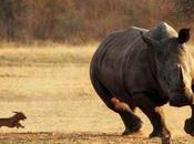 Iceland Gets Motivated Small Chasing Rhino Euro 2016