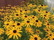 Brown Eyed Susan's Flowering Abundance Long Island...