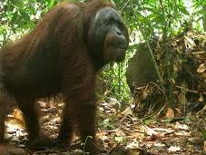 Logged Rainforests 'ark' Mammals, Extensive Study Shows