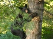 Backyard Bears Hampshire