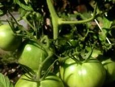 Ripen Tomatoes They Sweet Vine Ripened