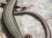 DAILY PHOTO: Himalayan Lizard