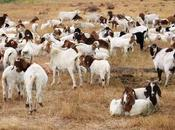 Google Turns Googlle Goat Employees