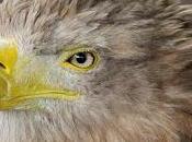 Good News: Eagle Numbers Predicted Climb Scotland