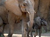 Dallas Zoo's Baby Elephant Ready Meet Public