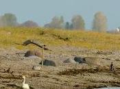 """Swan Woman"" Flying Again After Injury Heartbroken News Swan Death"