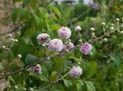 Rubus Ulmifolius Bellidiflorus