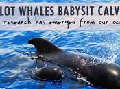 Research: Pilot Whales Babysit Calves