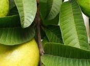 Guava Leaves Magical Medicine Hair Growth