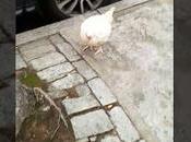 Chicken Wanders Around Eastern Parkway (video)