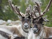 Tsaatan Nomads Mongolia Reindeer Herders