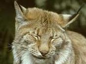 Featured Animal: Lynx