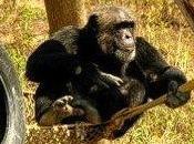 Chimpanzee Love Affair Girona, Spain