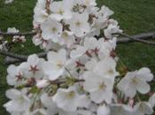 Spring....Summer? Cherry Blossom