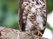 Photography Crested Goshawk