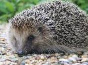 Still Awake? Rise Hedgehog Sightings Late Start Winter.