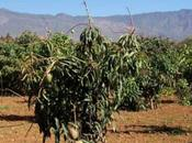 Mango Cultivation Canary Islands