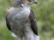 Missing Predator: Sparrowhawks Absent from Gardens This Winter