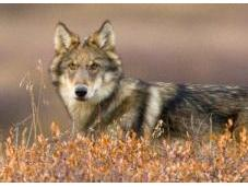 'It's Very Scary Forest': Should Finland's Wolves Culled?