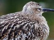 Over-half World's Curlew Godwit Species Face Extinction from Habitat Loss Other Pressures.