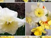 Never Have Many Daffodils