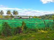 Sergio's Farm First Only Organic Strawberry Cebu