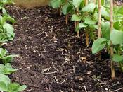 Successional Sowing