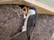 House Martins Need Nosy Neighbours