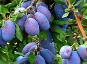 Prunes Benefits, Uses Side Effects Must Know