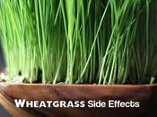 Wheatgrass Side Effects Some Benefits Uses