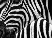 Love Zebra Skin Furniture…but Ethical?
