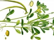 Fabulous Fenugreek