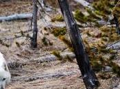 Famous Rare White Wolf Killed Yellowstone, $10K Reward Offered