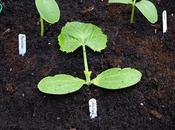 Planting Cucumbers Courgettes