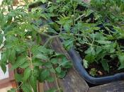 Layering Different Propagate Tomatoes.