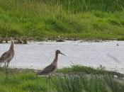 Rare Birds Released Fens 'conservation First'