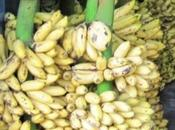 Researcher Says Strands Most Important Banana