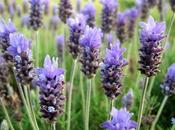 Lavender..