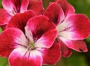 Pelagoniums, Ivies Ferns: Must Fibrex Nurseries