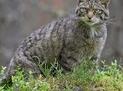 Work Five Areas Which Most Benefit Scottish Wildcat Preservation.