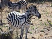 DAILY PHOTO: Young Zebra