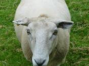 Poorly Sheep