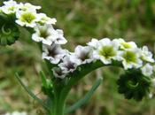 Weeds–Nature's Emergency Technicians: Alkali Heliotrope