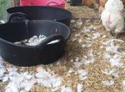 Chicken Moult