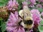 [Press Release] Voting Urged Help Save Scotland's Great Yellow Bumblebee