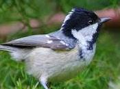 Biggest-ever Influx Smallest Garden Birds