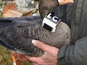 Christmas Coming, Goose Getting Fit! Special Bird 'fitness Tracker' Reveals Migration Struggles