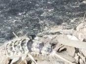 Silverfish Firebrats